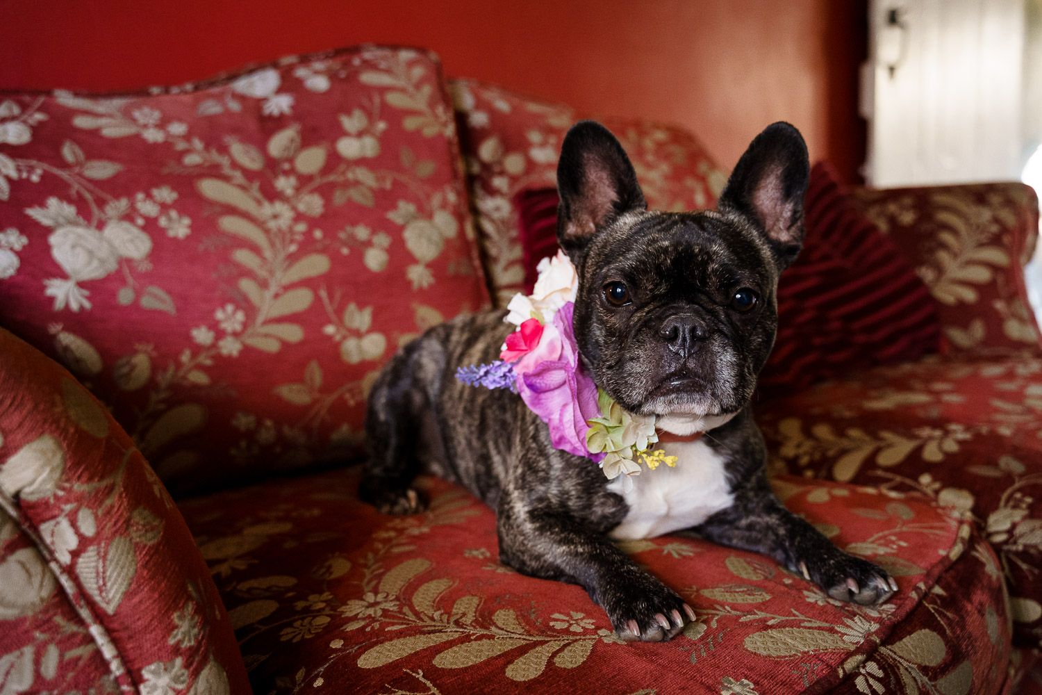 French bulldog wearing a wedding flower collar lies on a luxurious red sofa. Top 10 dog-friendly wedding tips