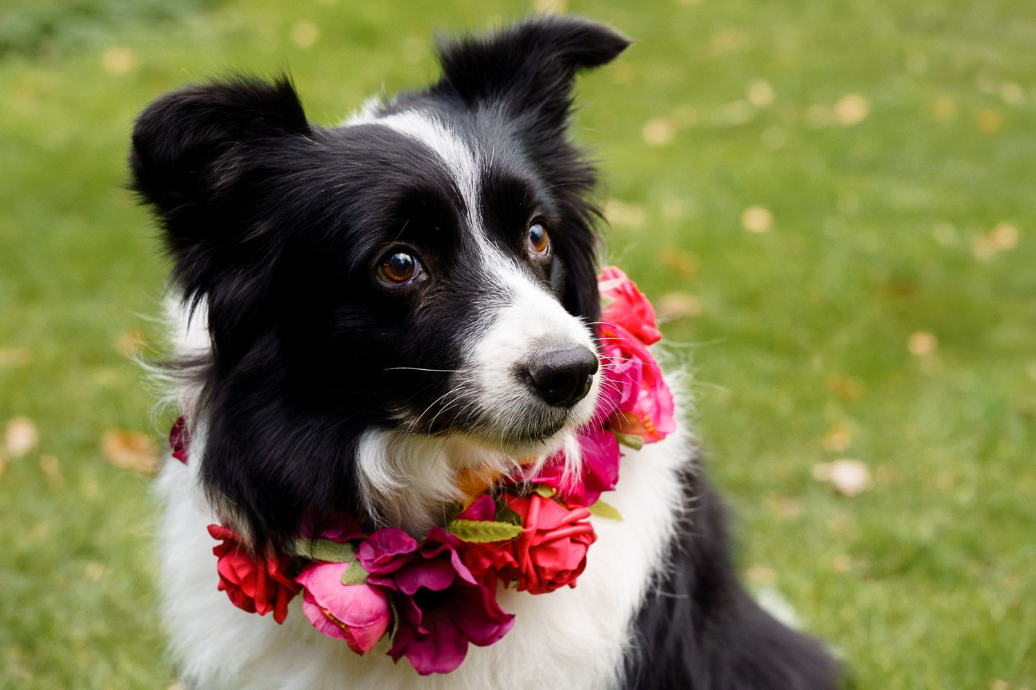Border collie in a flower collar - dogs at weddings. Top 10 dog-friendly wedding tips.