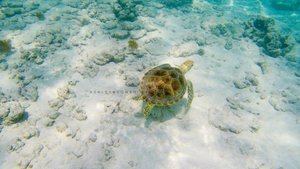 One of the sea turtles I saw with on Baby Beach in Aruba during a trip to photograph a wedding!