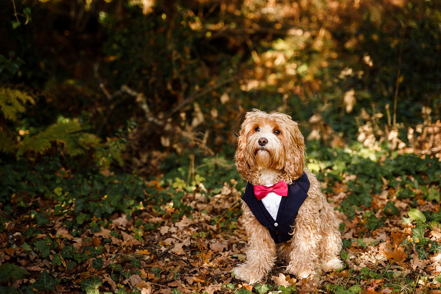 Cockapoo wearing a wedding tuxedo at an autumnal outdoor wedding. Top 10 dog-friendly wedding tips.
