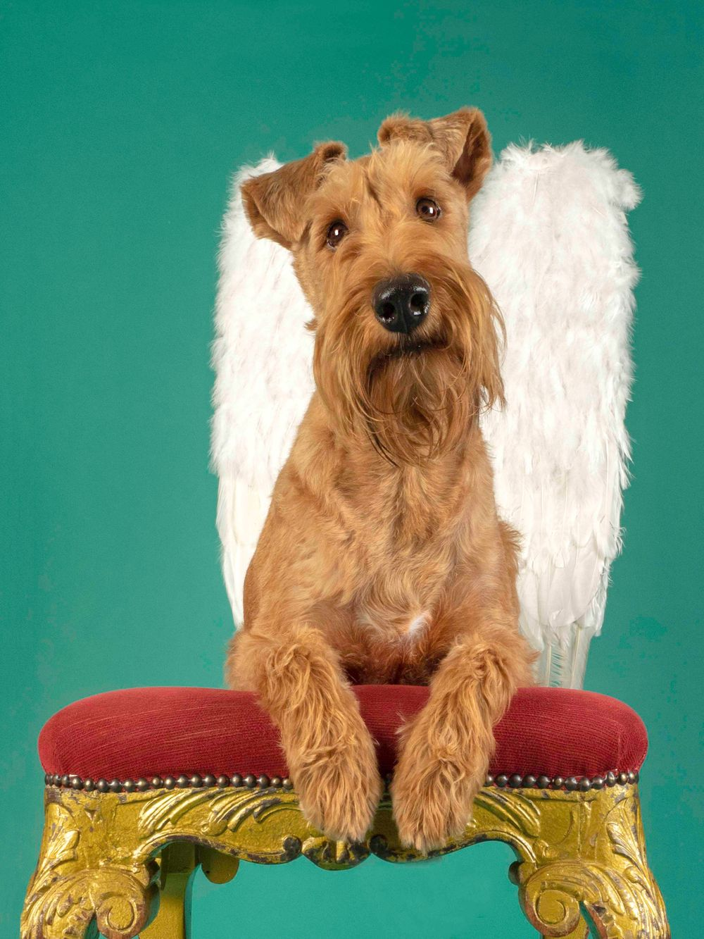 Archie the Irish Terrier is 'Angel Eyes'