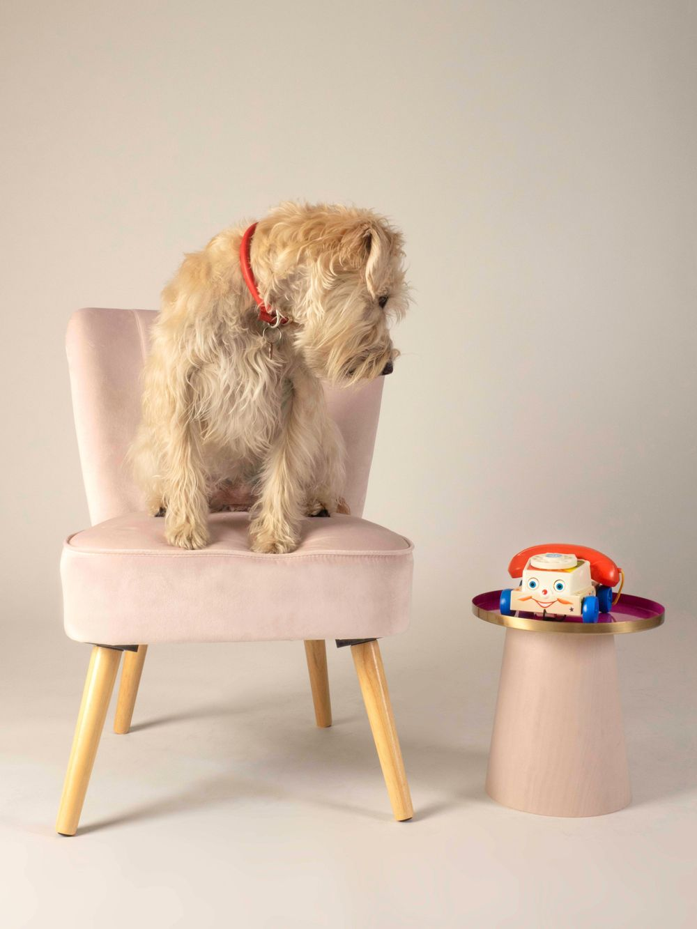 Wheaten Terrier Lottie stars in 'Ring Ring'