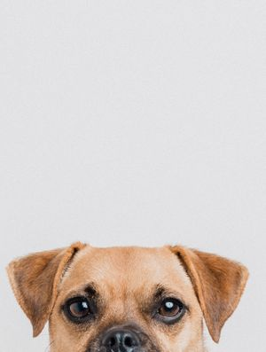 Jack russell cross with a pug peeking