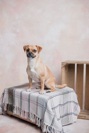 Jack russell terrier cross with a pug portrait