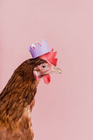 Portrait of a chicken wearing a crown