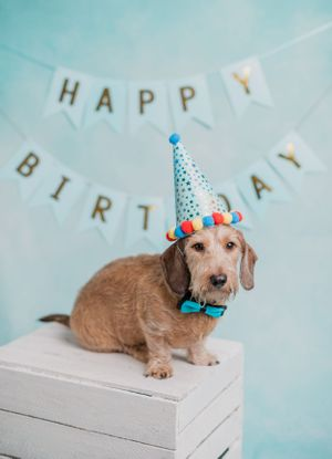 Wire haired sausage birthday party