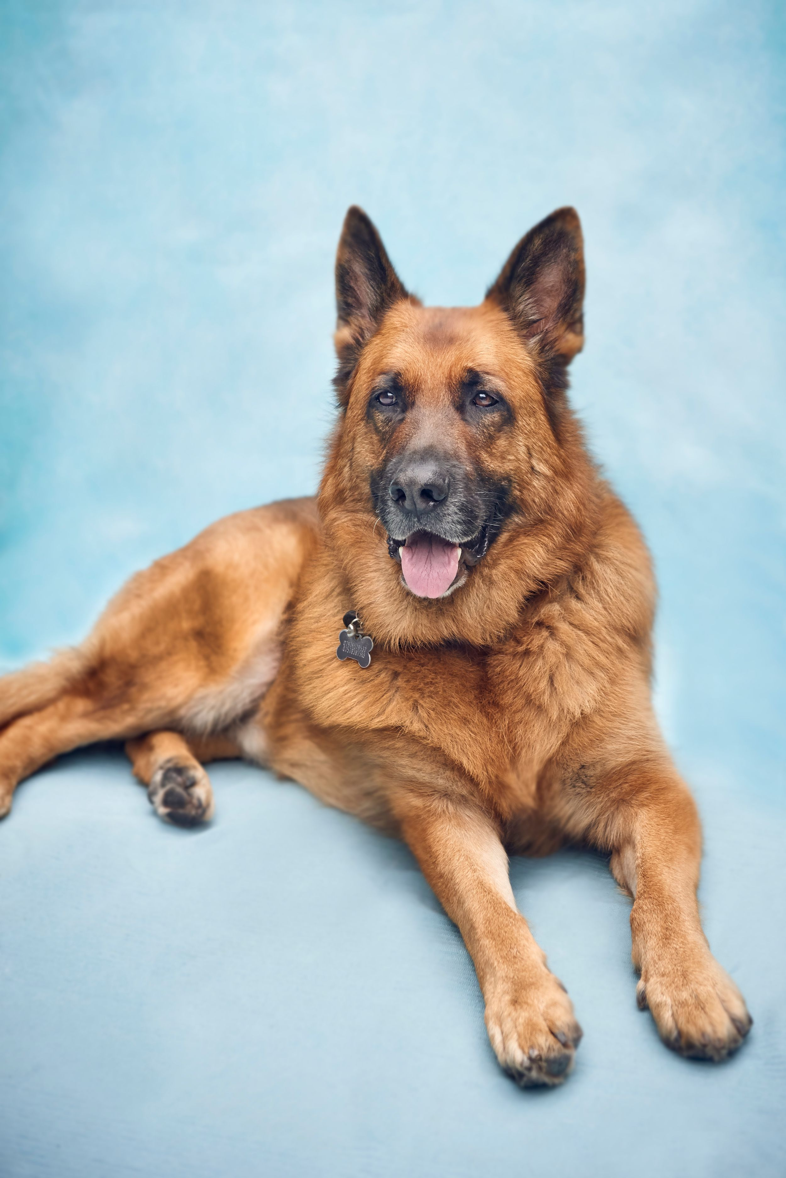 Alsatian dog on blue background, Sarah Lake Photography