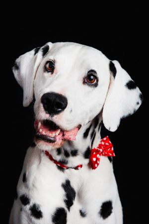 Dalmation wearing a bow tie