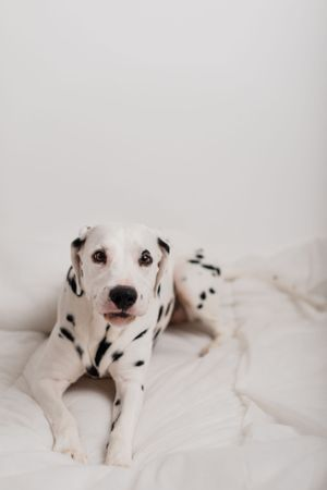 Dalmation laying down Portrait