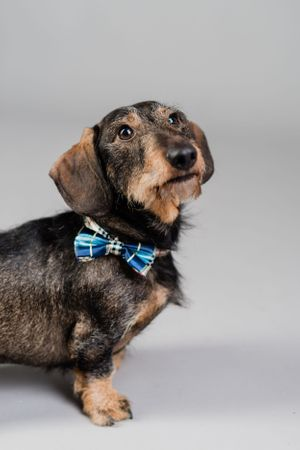wire haired sausage dog with bow tie