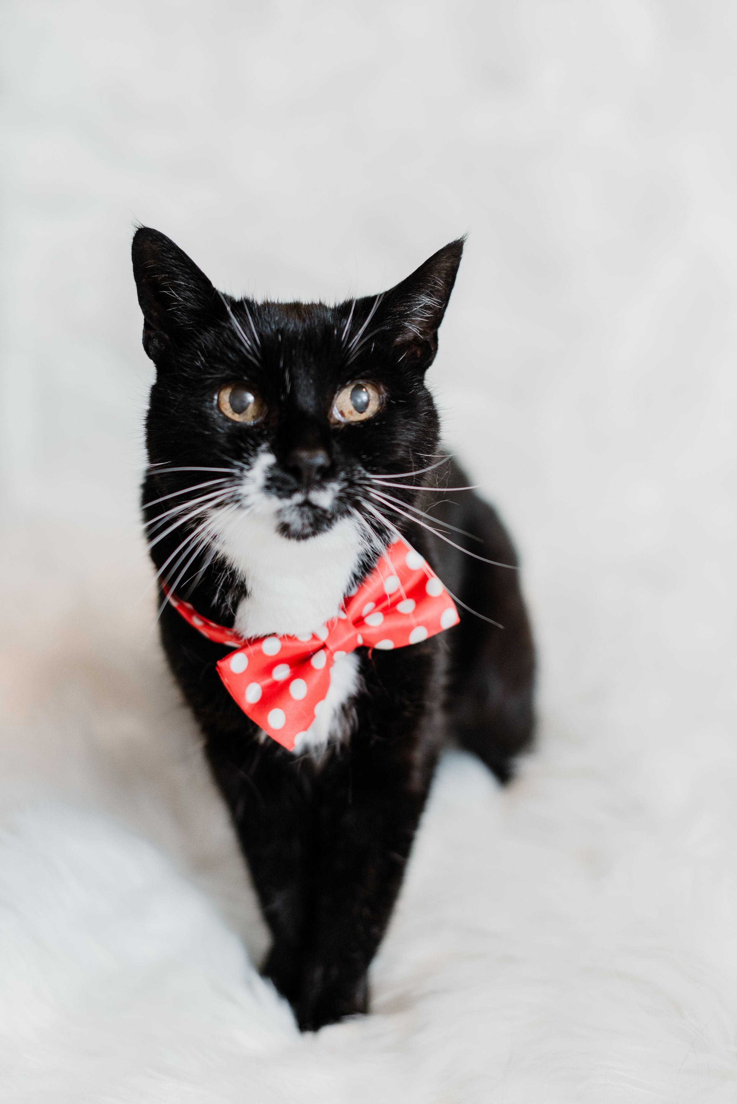 Black and White cat, Cat wearing a bow tie, Sarah Lake Photography